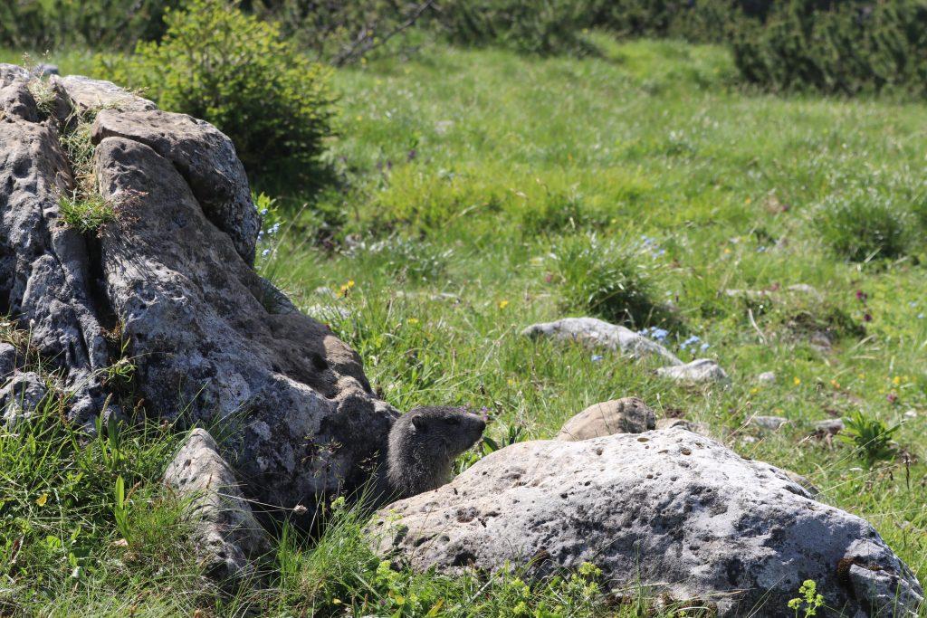 Monte Ortigara: marmotte