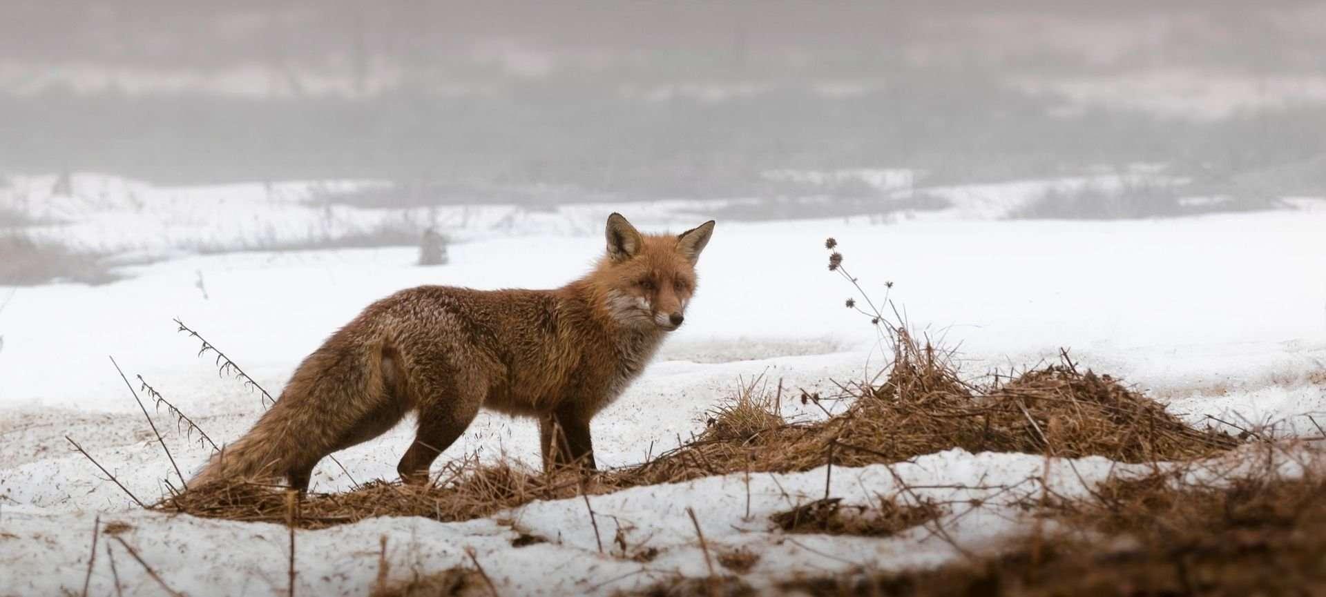 impronte animali sulla neve